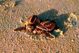 Schlildkröten Florida